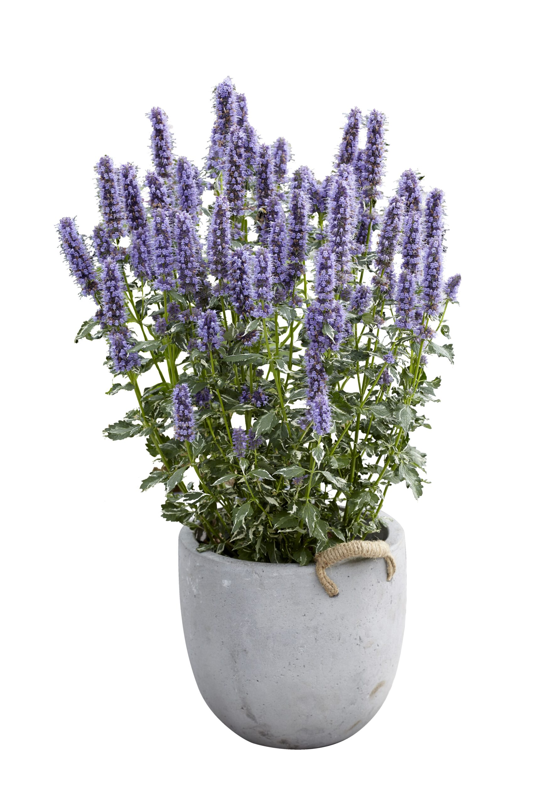 ANISISOP NYHED AGASTACHE CRAZY FORTUNE