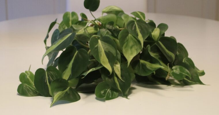 Philodendron – hjertefilodendron